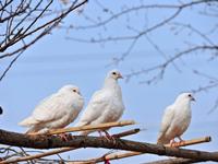 缩短配对期种鸽选择标准及配对注意事项