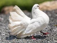 生产种鸽休产期的有效措施