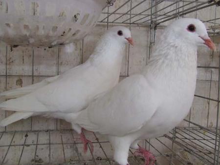 肉鸽养殖前期的准备工作有哪些?